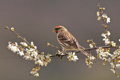 Male Lesser Redpoll Stock Images
