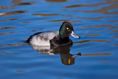 Male Lesser Scaup (Aythya affinis) duck. And reflections in deep blue water Royalty Free Stock Photos
