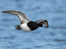 A Male Lesser Scaup in flight royalty free stock photography