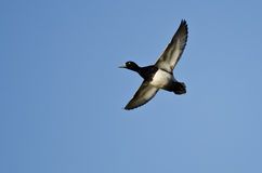 Male Lesser Scaup Flying in a Blue Sky. Male Lesser Scaup Flying in a Clear Blue Sky Stock Photos