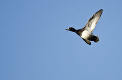 Male Lesser Scaup Flying in a Blue Sky Stock Photos