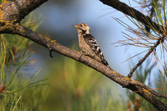 Male lesser spotted woodpecker on branch. Royalty Free Stock Photography