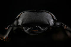 Male of lesser stag beetle on black Stock Image