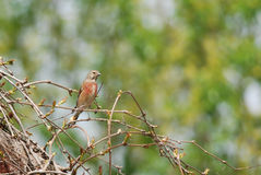 Male Linnet. On a branch Royalty Free Stock Photos