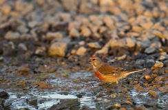 Male linnet (Carduelis cannabina) Royalty Free Stock Photos