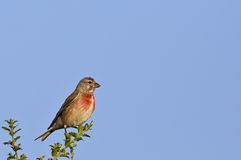 Male Linnet (Carduelis cannabina) Stock Images