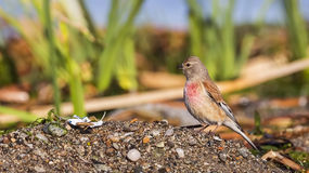 Male linnet Royalty Free Stock Photography