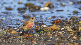 Male linnet Royalty Free Stock Photo
