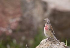 Male linnet (Carduelis cannabina). A male linnet is looking around on a piece of rock Stock Photo