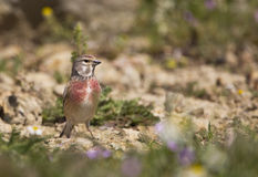 Male linnet (Carduelis cannabina). A male linnet is looking around on a piece of rock stock image