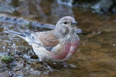 A male Linnet perched on earth. royalty free stock image