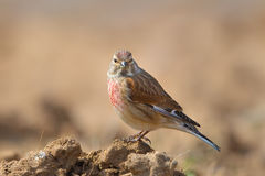 Male Linnet perched on the ground Royalty Free Stock Image