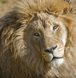 Male Lion. Close-up portrait of a male lion Royalty Free Stock Photos