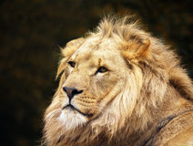 Male Lion. A portrait of a majestic male lion royalty free stock photo