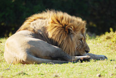 A Male Lion. A lazy Male lion watching for food Stock Photo