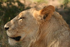Male lion. A side profile of a young male lion Royalty Free Stock Photo