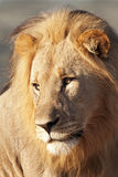 Male lion Stock Photo