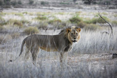 Male Lion. Standing in the grss stock photography