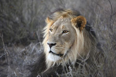 Male Lion. Close up of male lion stock image