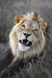 Male Lion. Lying down growling royalty free stock photography