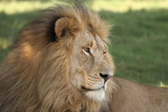 Male Lion. Relaxing in the shade of a tree #1 Royalty Free Stock Photography