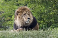 Male lion. Laying down Royalty Free Stock Image