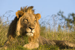 Free Male Lion Stock Photography - 17213892
