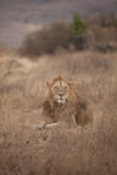 Male Lion. In the grass on the Serengeti in Tanzania stock images