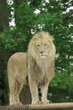 Male Lion 2. Male Lion Standing on platform Royalty Free Stock Photo