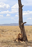 Male Lion. Resting in the small shadow of a tree, Maasai Mara National Reserve, Kenya, East Africa royalty free stock images
