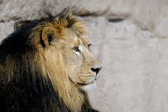 Male lion. African male lion (Panthera leo Stock Photo