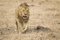 Male lion. Maasai Mara National Reserve, Kenya, Africa Royalty Free Stock Photo