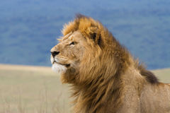 Free Male Lion Stock Photos - 20947073