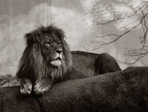 Male lion. Black and white image of male lion laying down Royalty Free Stock Images