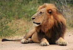 Free Male Lion Stock Photos - 21413463