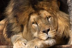Male lion. Looking straight at the camera Royalty Free Stock Images