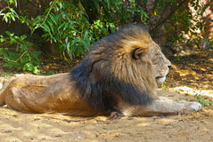 Male Lion. Lying on the ground royalty free stock photo