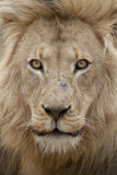 Male Lion. (Panthera leo) portrait, South Africa Stock Image