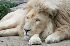Male Lion. Beautiful male african white lion Royalty Free Stock Image