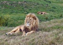 Free Male Lion Royalty Free Stock Photo - 27564555
