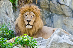 Male Lion. Lying on rocky mountain Royalty Free Stock Image