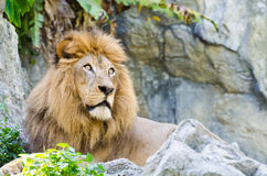 Male Lion. Lying on rocky mountain Stock Photography