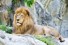 Male Lion. Lying on rocky mountain Stock Images