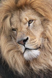 Male Lion. Close up head shot of a male Lion Royalty Free Stock Photos