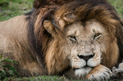 Male Lion. A Male Lion relaxes on the plains of the Masai Mara Royalty Free Stock Images