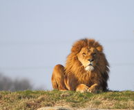 Free Male Lion Stock Image - 29442861