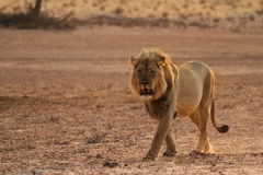 Male lion 3 Stock Image