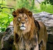 Male lion Royaltyfri Foto