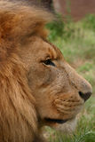 Male lion. Staring Royalty Free Stock Photo