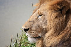 Male lion royaltyfria foton
